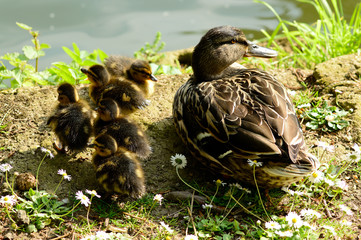 Mother duck and chicks on riverbank