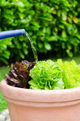 salat gießen