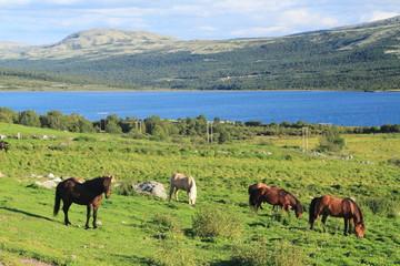 parco nazionale dovrefjell norvegia cavalli