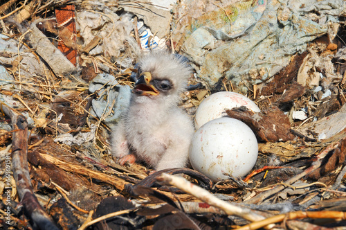 nestling and eggs Steppe Eagle
