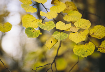 Beautiful yellow foliage .