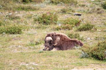 bue muschiato parco nazionale dovrefjell norvegia