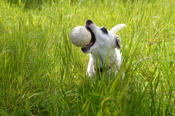 Jack Russell terrier catching white ball in long grass