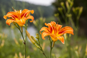 Pair of Orange Lillies