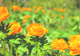 Forest flowers in Siberia, Globeflower