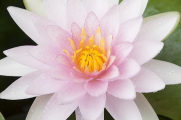 Pink water lily in nature.