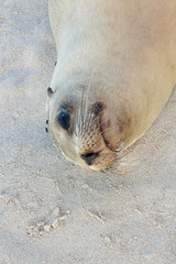 Sea Lion resting on the sand