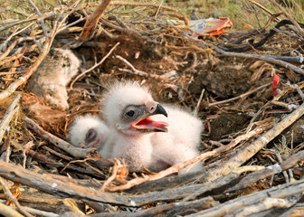 young nestlings Steppe Eagle