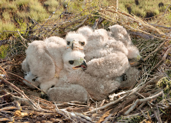 young nestlings Long legged Buzzard
