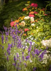 Rosen garden with lavender in foreground.
