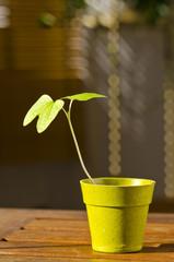 Phototropism. Plant growing towards sunlight.