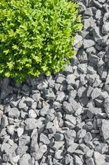 Buchsbaum in Kiesbeet, Gartenkies, Gartenbau