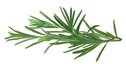Rosemary leaves isolated on white background