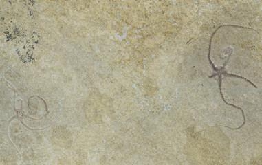 Coppia di Sinosura, ofiura fossile, Solnhofen, Germania
