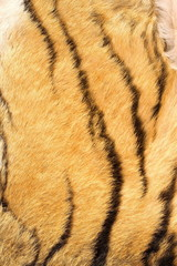 detail of tiger real stripes on fur