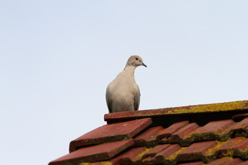 eurasian collared dove standing on the roof