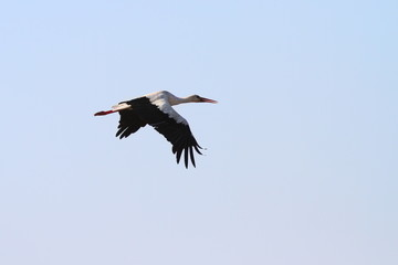 white stork flying