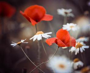 red poppy flowers and wild daisies