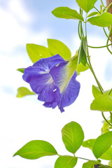 Butterfly pea flower in the green nature or in the garden