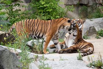 Tigerpaar