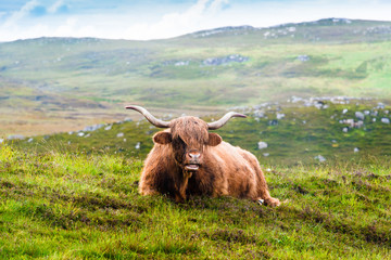 Resting Scottish Highland cow