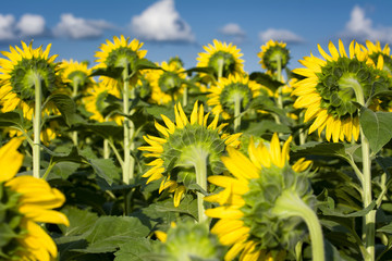 Giant Texas Sunflowers