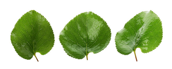 three green leaves of apricots isolated on the white background