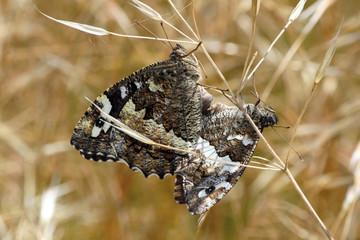Mariposas rey moro copulando, brintesia circe, Sauceda