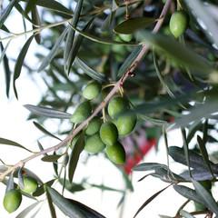 Prime olive sugli alberi