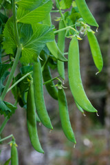 Green pea pods on a pea plant