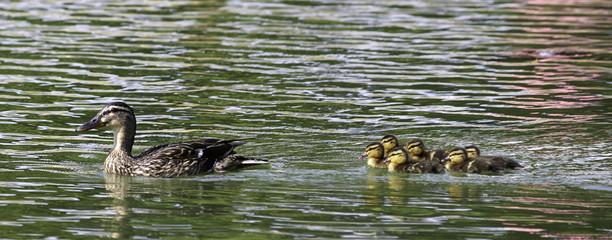familia de patos 9