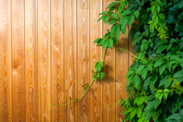 Yellow plank background with green ivy ocer, place for text