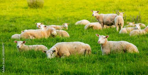 Tuinposter Schapen sheep herd grazing