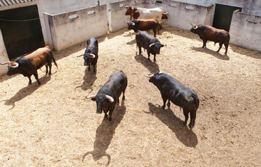 Fighting bulls on the courtyard