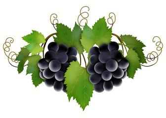 лоза с черным виноградом