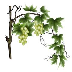 лоза с гроздьями зеленого винограда