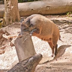 Die wilden Schweine kommen! Wildschwein durchsucht Mülltonne