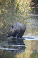 Greater One-horned Rhinoceros in Nepal