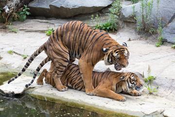 Tigerliebe