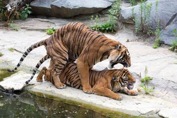 Tiger bei der Fortpflanzung