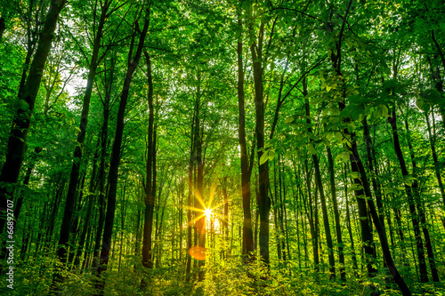 forest - 66892707
