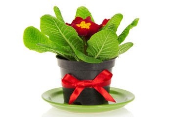 Pot with primrose, decorated by bow
