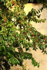 kirschbaum vor altem gemäuer I