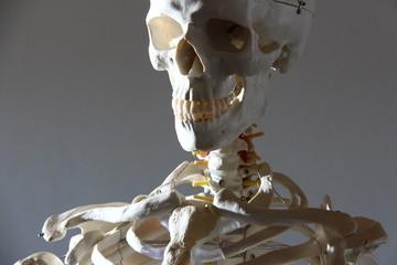 medizinisches skelett II