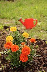 The watering marigold