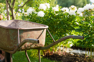 Rusty gardening wheel barrow in a garden