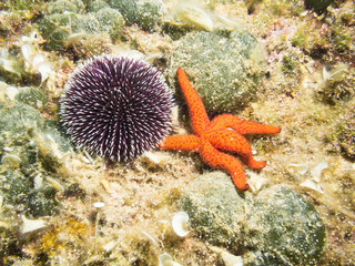 Sea Urchin and Starfish on the sea bed