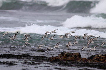 Flock of sea birds in flight