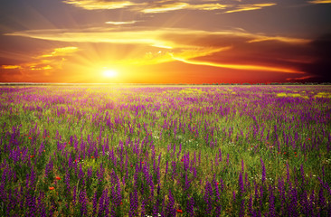 Field with grass, violet flowers and red poppies against sunset