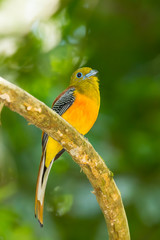 Portrait of Orange-breasted Trogon  in nature